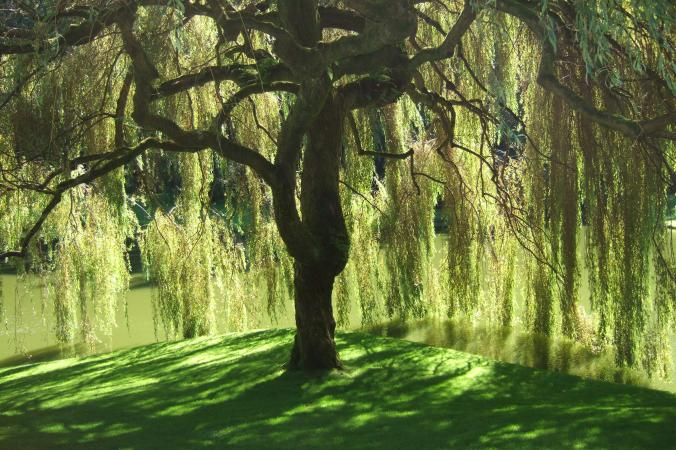 Bloedel_Reserve_Willow_Tree