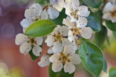 PearBlossomsCalifornia